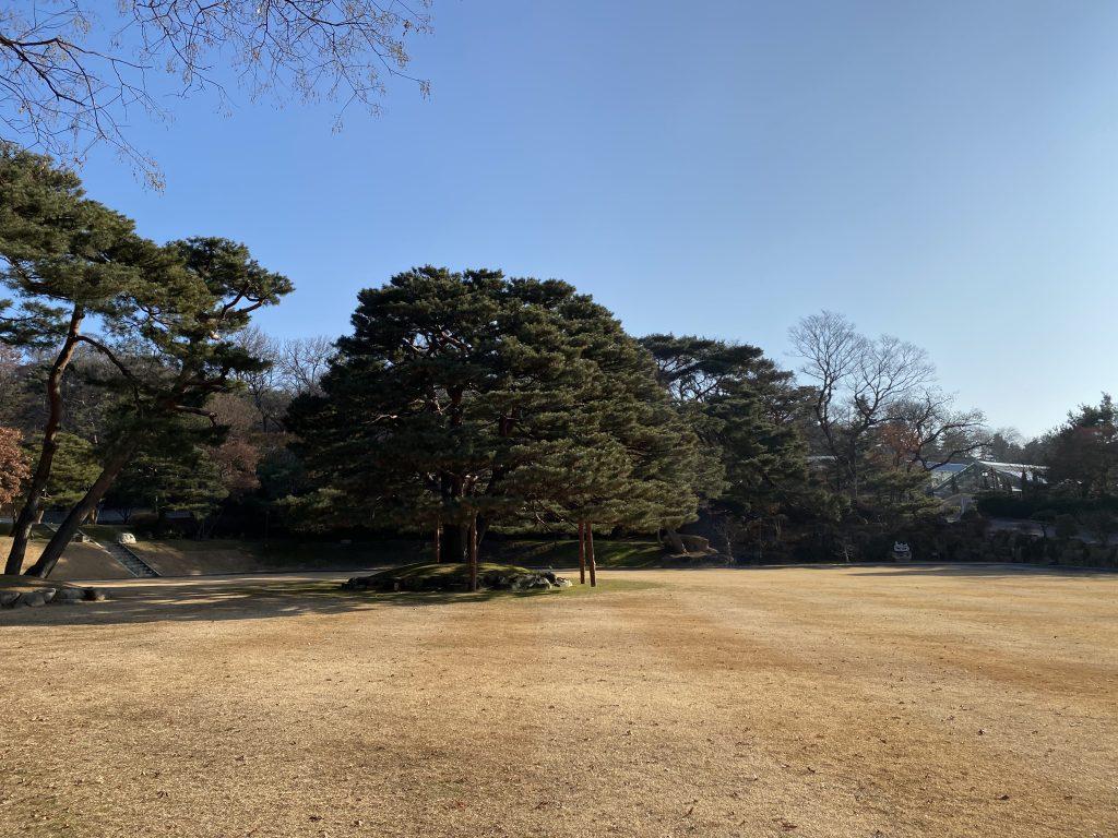 170 years umbrella pine tree