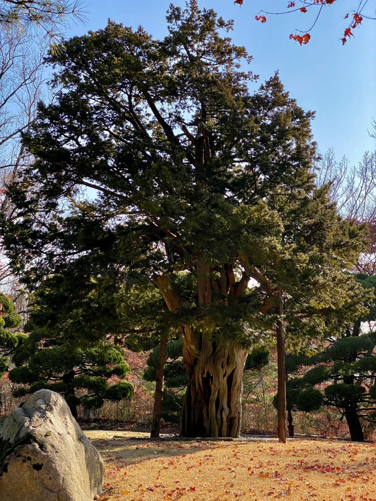 700 years old tree at The Blue House