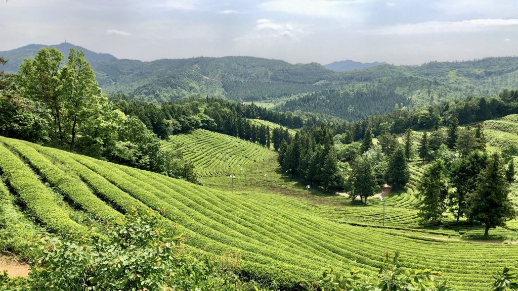 Boseong Green Tea Festival Tea Fields