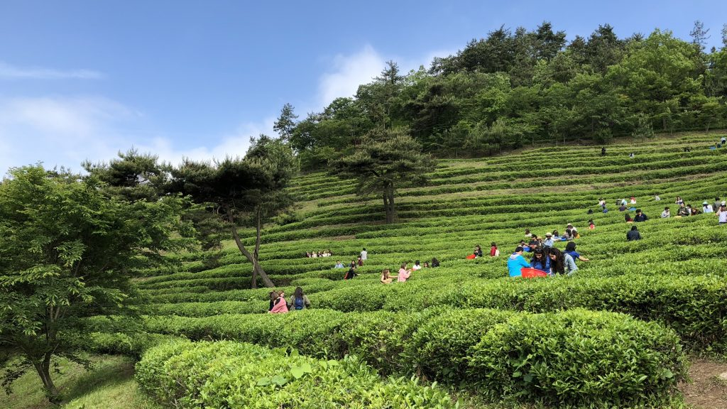 Boseong Green Tea Festival Tea Picking