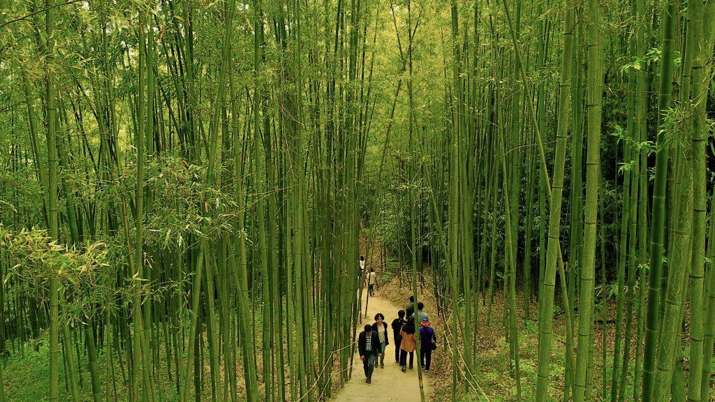 Damyang Bamboo Festival Bamboo Forest