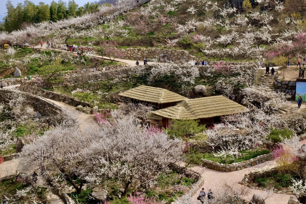 Gwangyang Maehwa Festival Hanok Houses