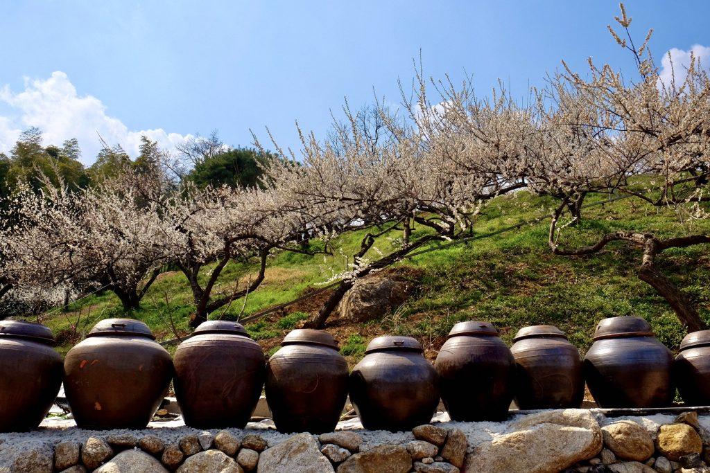 Gwangyang Maehwa Festival Plum Jars