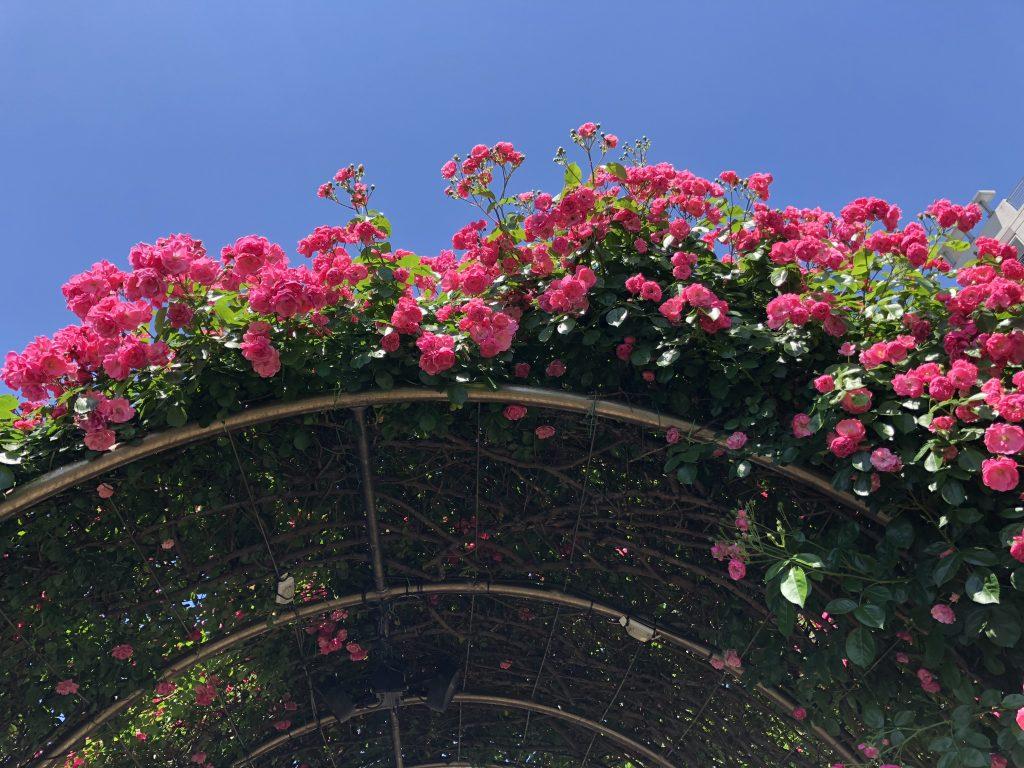Seoul Rose Festival Roses