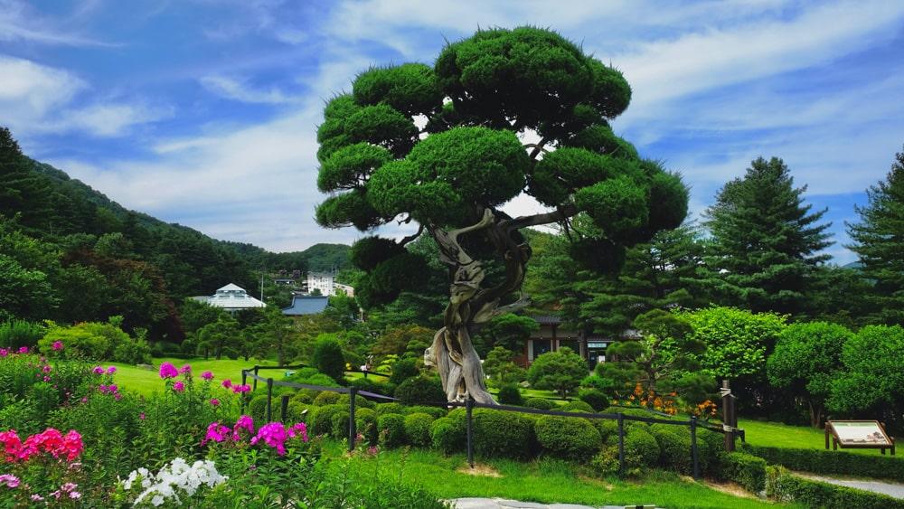 Millennium Juniper - Garden of Morning Calm